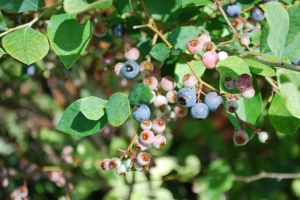 Blueberry SCBG