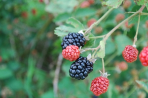 Ripening blackberries.