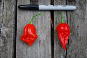 'Trinidad Scorpion' (left) and 'Ghost' (right) chile peppers.
