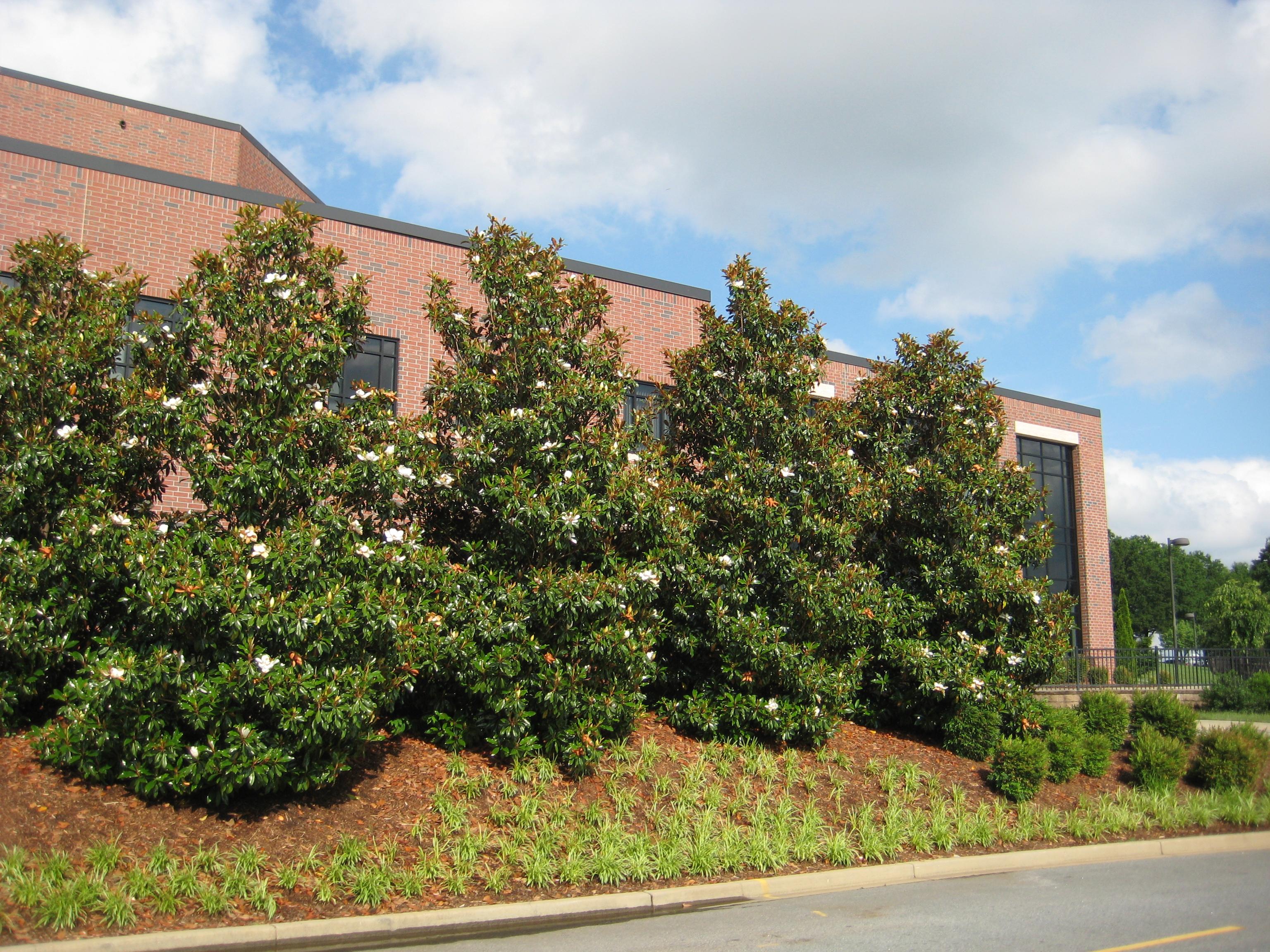 Southern Magnolia A Southern Aristocrat Bobpolomski