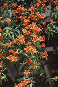 Bignonia capreolata2