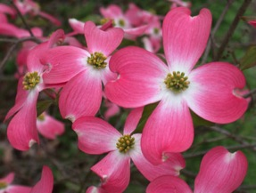 Pinkdogwood