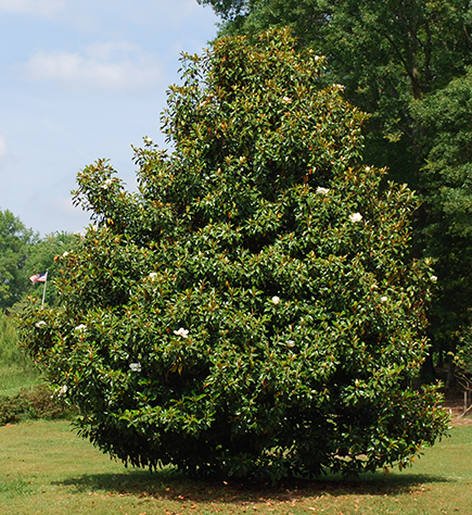In Bloom Southern Magnolia Bobpolomski