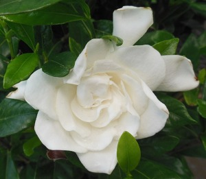 Gardenia August Beauty May 25 2015