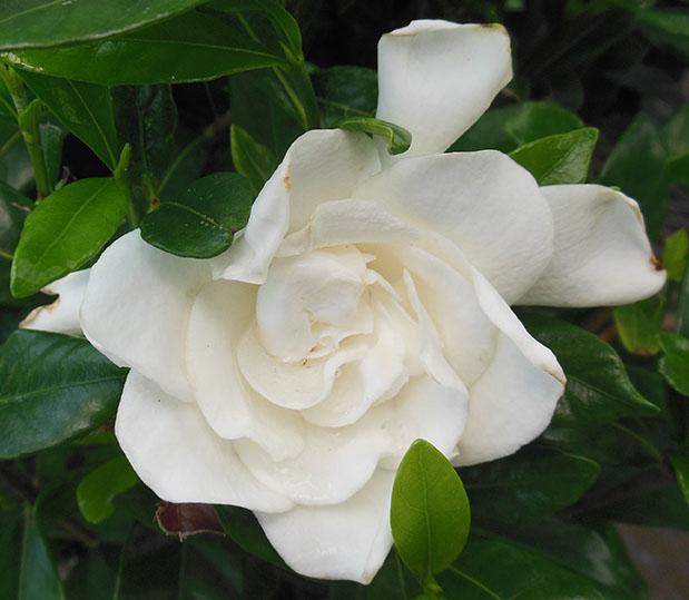 Gardenia August Beauty May 25 2015
