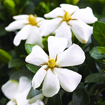 Heaven Scent gardenia  bloom