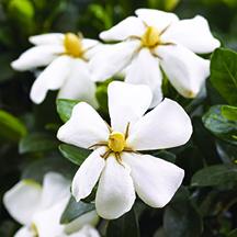 Heaven Scent gardenia  bloom