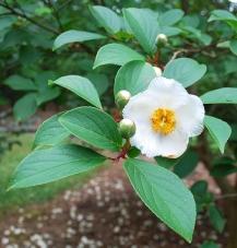 Stewartia pseudocamelia flower