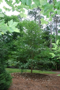 Stewartia pseudocamelia tree
