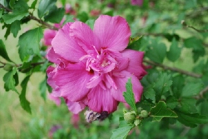 Rose of Sharon double