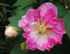 Confederate rose_4 (2)