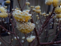 Edgeworthia flowers