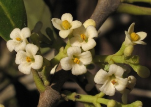 osmanthus americanus bloom.jpg