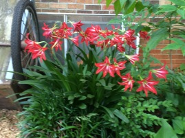 St Joseph lily flower