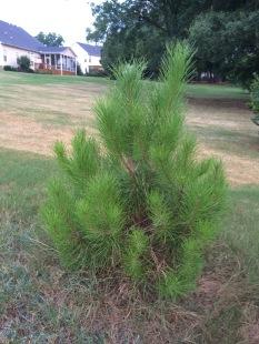 Pinus pinea 7_8_2016