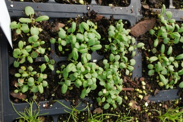 Hyssop seedlings in flat 3_2_2016